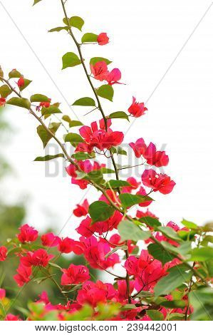 Beautiful blooming bougainvillea flowers in spring after rian poster