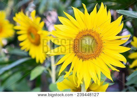 Beautiful Nature Sunflower In Field. Close Up Sunflower For Design. Bright Yellow Sunflower.