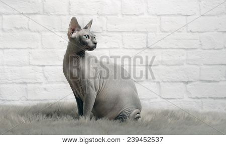 Grey Sphynx Cat Sit On A Fur Blanket And Look Sideways.