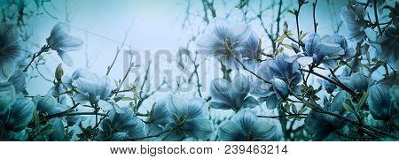 Beautiful Blossoming Magnolia Flowers In Sundawn Light Backlit, Shallow Depth. Soft Dark Blue Vintag