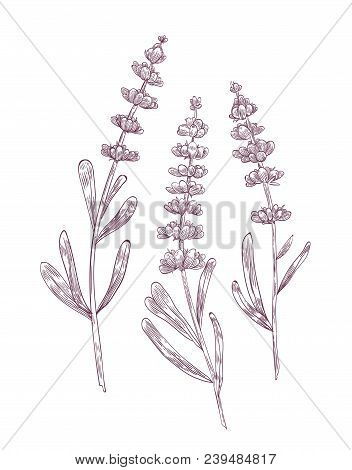 Botanical Drawing Of Lavender Flowers And Leaves Hand Drawn With Contour Lines On White Background.