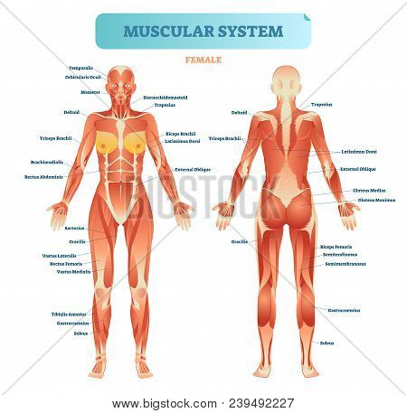 Male Muscular System, Full Anatomical Body Diagram With Muscle Scheme, Vector Illustration Education