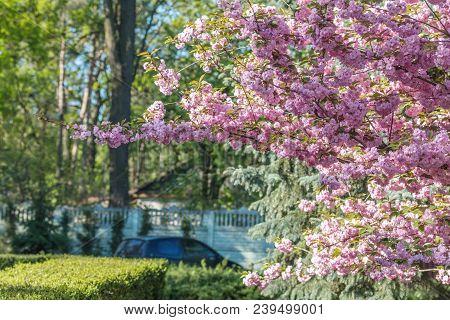 Pink Blossom Cherry Tree Branch, Sakura, During Spring Season On Pink Background. Beautiful Nature S