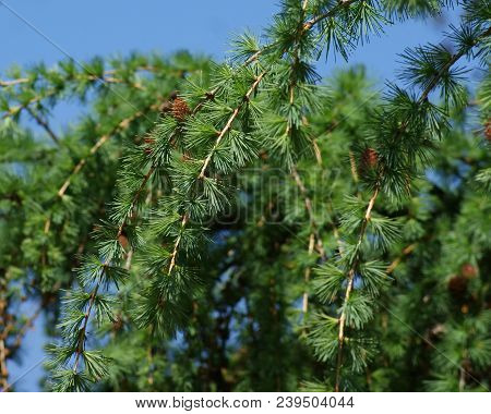 Every Spring, Larch Is Covered With Young Green Bundles Of Needles. The Delicate Aroma Of Soft Conif