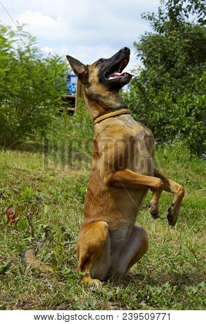 Dog Playing Outdoors. Full-length Shot Of A Dog Playing. Malinois Dog Playing. Portrait Of A Malinoi