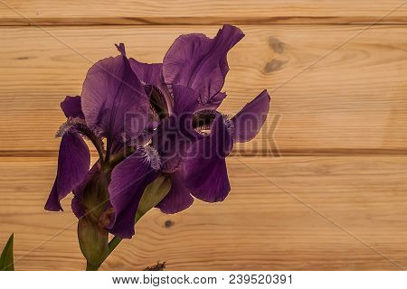 A Closeup Of A Beautiful Purple Iris On A Wooden Background. An Iris Is Just Cut From The Home Garde