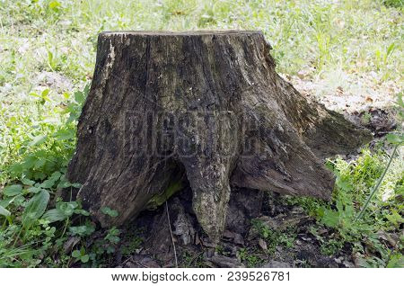 Old Wooden Stump. Old Stump In The Woods. Spring