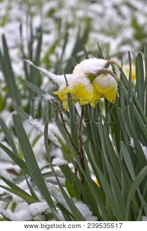 A Patch Of Colorful Daffodil Flowers Covered Bent Over Under The Snow And Competing With Other Plant