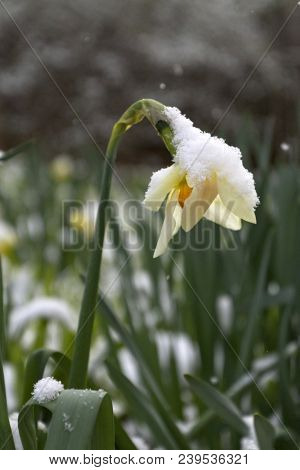 A Colorful Daffodil Flower Covered And Bent Over With Snow, Struggles To Survive The Change From Win