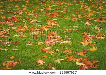Autumn Maple Leaves In Golden Colors On Green Grass In A Park In The Fall