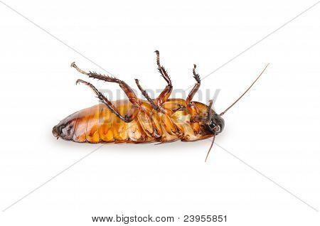 Madagascar cockroach, lying on his back