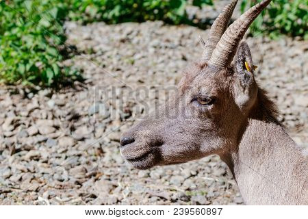 Close Up Of A Capricorn In A Game Park