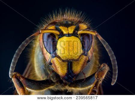 Face Of European Hornet (vespa) On Black Background, Extreme Close Up