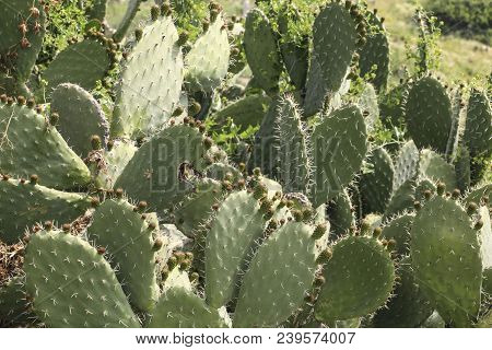 Cactus Landscape. Prickly Pear Cactus Or Opuntia Ficus Indica With Still Green Fruits