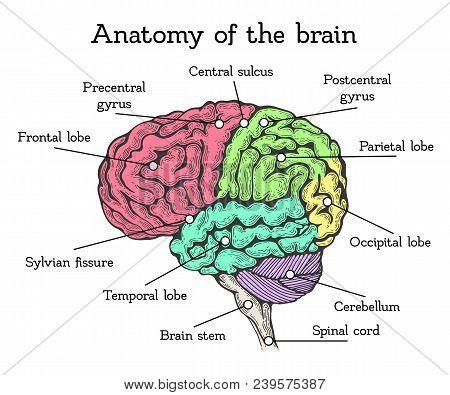 Brain Anatomy Color Scheme. Brain Divided Into Areas With Description, Bright Units Of Forebrain, Mi