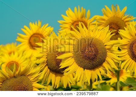 Sunflower Natural Background, Sunflower Blooming, Sunflower Oil Improves Skin Health And Promote Cel