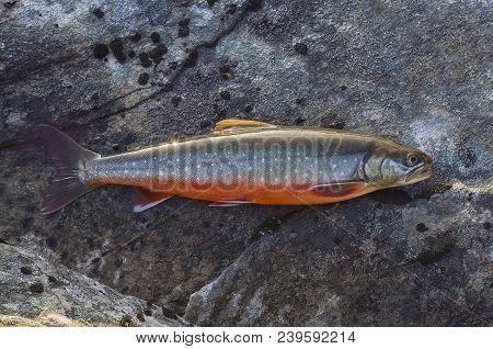 Arctic Char Fish On River Stone. Salvelinus
