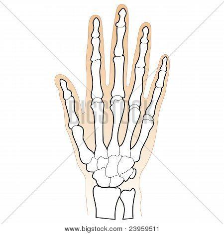 Bones of the Human Hand
