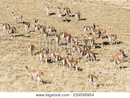 Large herd of wild curious guanaco lamas (Lama guanicoe) in the endless grass pampas of Tierra del Fuego, Argentina