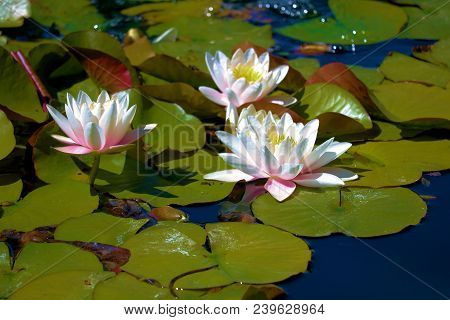 Lily Pads With Lotus Flowers Taken At A Pond In A Zen Meditation Garden
