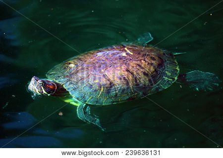Turtle Swimming At A Rural Pond In Rural Wetlands