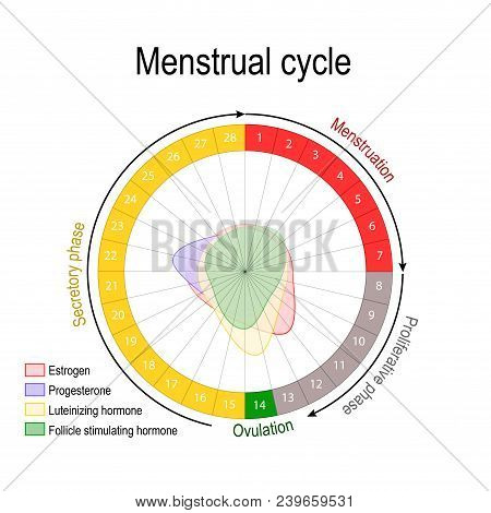 Menstrual Cycle And Hormone Level. Ovarian Cycle: Follicular And Luteal Phase. Bleeding Period And O