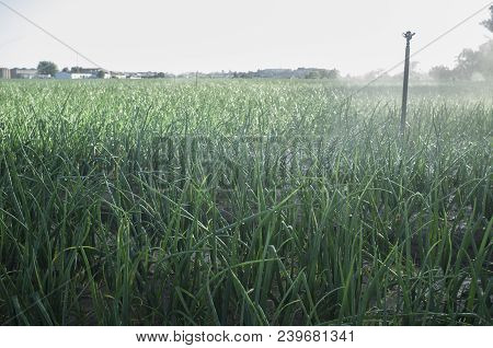 Sprinklers At Work Under Backlit Sunrays At Onions Field. Guadiana Meadows, Badajoz, Spain