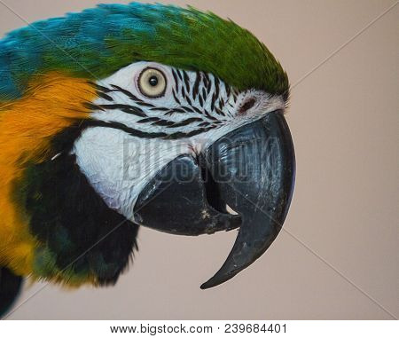 Photo Portrait Of A Blue And Yellow Macaw Parrot