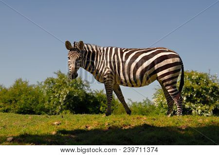 Full Body Of Two African Striped Coats Zebras. Photography Of Wildlife.