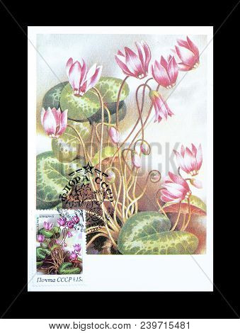 Soviet Union - Circa 1978 : Cancelled Postage Stamp Printed By Soviet Union, That Shows Cyclamen Ele