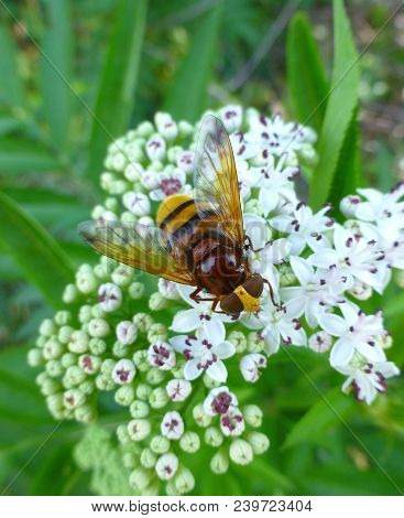 Photo Of A Hornet Mimic Hoverfly Sitting On A Flower