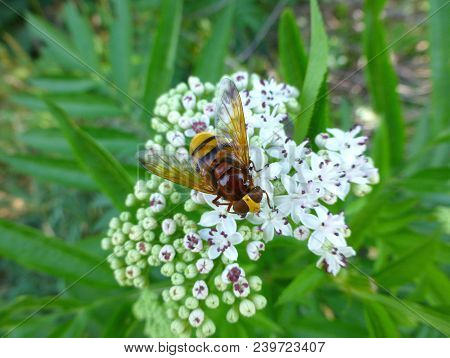 Photo Of A Hornet Mimic Hoverfly Sitting On A White Flower