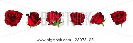 Set Of Six Beautiful Red Rose Flowerheads With Sepals Isolated On White Background. Flowers Are Shot