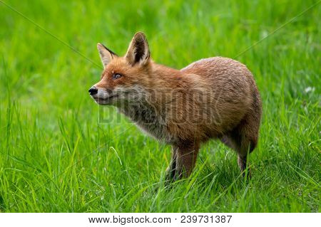 Jumping Red Fox. Running Red Fox, Vulpes Vulpes, At Green Forest. Wildlife Scene From Europe. Orange