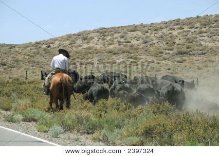Cowboy At Work Herding His Cattle In Nevada Desert