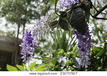 Beautiful Of Purple Petrea Volubilis Flower Nature Background, Stock Photo
