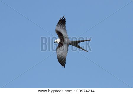 Swallow-tailed Kite (Elanoides forficatus) in flight hunting in the Florida Everglades poster