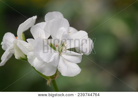 Flowers Of Geranium Pelargonium, White Color Close-up. Botany.