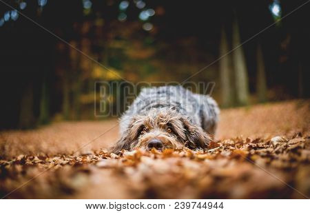 Hound Lying On The Ground In The Forest In The Autumnal Faded Leaves. Bohemian Wire Haired Pointing