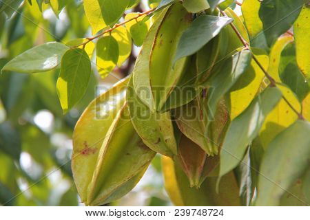 Star Fruit. Star Fruit A Typical Fruit Of The Tropics. The Spread Originally In Southeast Asia And I