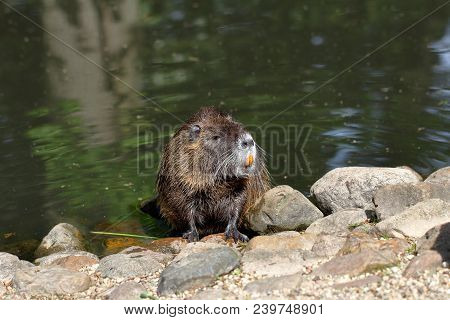 Portrait Of Coypu By The River. Large Orange Teeth Are Clearly Visible On This Coypu.