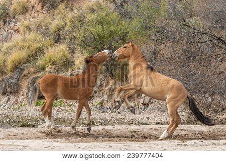 A Pair Of Wild Horses Fighting In The Arizona Desert