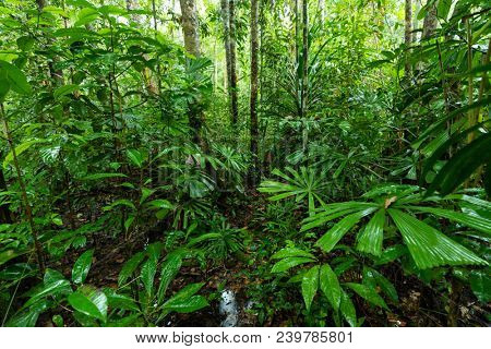 Lush undergrowth jungle vegetation in a virgin rainforest of the Aru islands, Papua, Indonesia