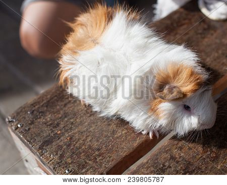 Selective Focus On White, Black, Orange Brown Guinea Pig Drying Wet Fur Under Sunlight. The Domestic