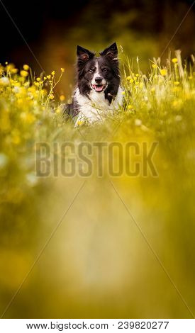 Dog Lying On The Meadow In Yellow Blooming Buttercups. Spring Atmosphere. Portrait Of The Black And