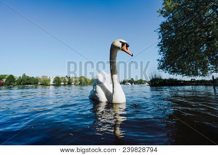 View Of The Alster Lake And White Grace Swan Swimming On Alster Lake In Hamburg On A Sunny Day.