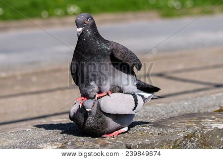 A Male Pigeon Mounting A Female To Mate With Her