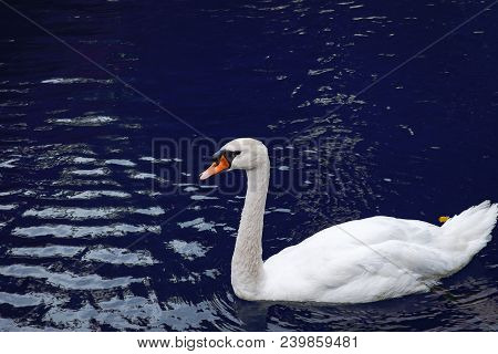 One White Swan On Lake Blue Water In The Wild. Beautiful Graceful Swan Swimming In A Pond