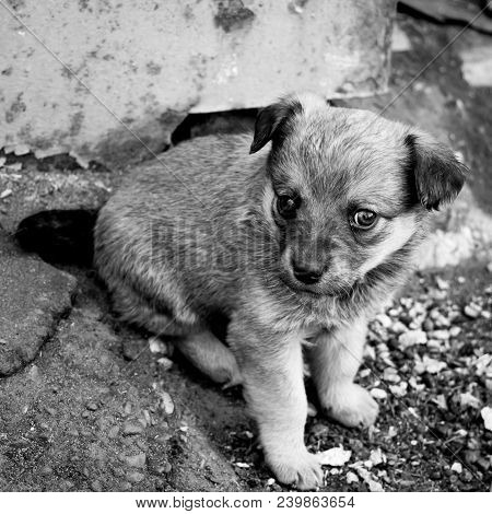 Funny Puppy Sitting On Ground. Portrait Of Little Mongrel. Square Black And White Photo.