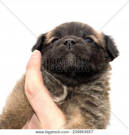 Little Mongrel Puppy In Owner's Hand. Bottom View.